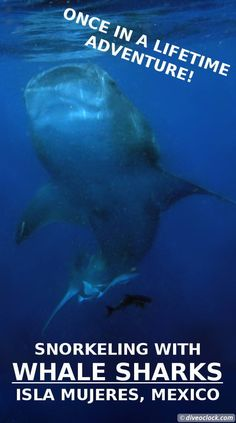 How about swimming with a whale shark up close? Exciting? How about swimming with a few hundred?! It is possible in Mexico! The highest number of Whale sharks in the world can be spotted off the coast of Mexico.  https://www.diveoclock.com/destinations/Caribbean/Mexico_WhaleSharks/  underwater   ocean   sea life   diving   coral reef    dive the world   scuba diver   dyk   duiken   tauchen   dive spot   marine life  