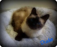 Dude is an adoptable Siamese Cat in Pekin, IL Hi, I'm Dude!!  I'm a 5 year old Seal Point Siamese with bright blue eyes!  Can you say handsom ... ...Read more about me on @petfinder.com