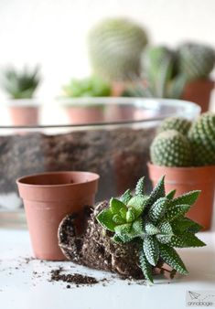 Kakteen und Sukkulenten pflanzen und pflegen Succulents, Mugs, Tableware, Plants, Planting Flowers, House Plants, Cacti And Succulents, Cactus, Ideas