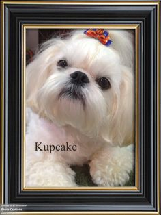 Kupcake the shih tzu