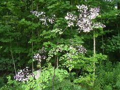 Thalictrum delavayi album  Good light tall background plant for back of borders