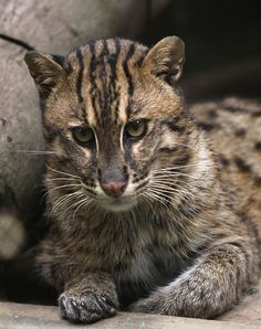 The Endangered Fishing Cat (Prionailurus viverrinus) is found in southern India and Sri Lanka, the Himalayan foothills, Southeast Asia and Java. -kc