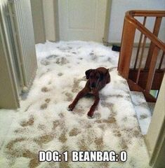 dog eats beanbag