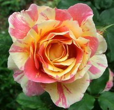 Rosa 'Claude Monet' is a hybrid tea rose, repeat bloomer.