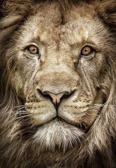 Portrait of the king of the jungle by David Guéret