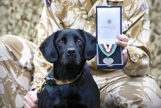 Treo - Treo is a retired Arms and Explosives Search Dog who also earned the Dickin Medal for his bravery in sniffing out roadside bombs in Afghanistan, saving the lives of countless British soldiers and civilians.