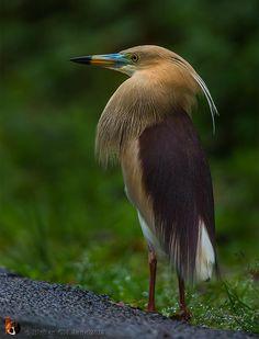 Indian Pond Heron (Ardeola Grayii), Crabier de Gray. Toute l'Inde, Bangladesh, Sri Lanka, Birmanie, vu à plus de 1 500m au Népal, présent dans une grande partie du golfe Persique.