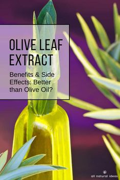 Olive leaf extract benefits and side effects include many of the former and few, if any, of the latter. It might even be better for you than olive oil. via All Natural Ideas - Herbs Natural Home Remedies, Herbal Remedies, Olive Leaf Benefits, Wellness Tips, Health And Wellness, Health Tips, Olive Oil Extract, Health Resources, Natural Essential Oils