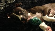 Repeal the BSL Ban Against Pit Bulls and Bully Type Breeds in Williston, ND