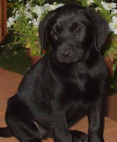 Great looking black lab!  #blacklab #dogs