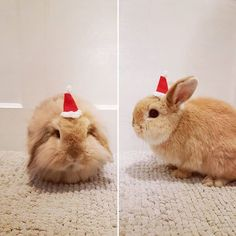 Merry Christmas every bunny! Santa Hat, Rabbit, Merry Christmas, Bunny, Photo And Video, Animals, Instagram, Merry Little Christmas, Rabbits