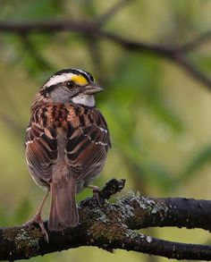 Wild Birds Unlimited: White-throated Sparrow fun facts