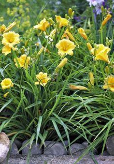 10 plantes faciles qui résistent au manque d'eau - Détente Jardin Daylilies, Tree Stand, Flowers, Planters, Garden, English Garden, Potager Garden, Plants, Rose Trees