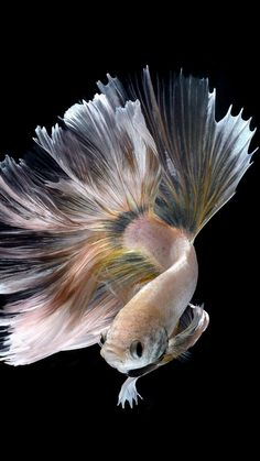 Halfmoon Albino Betta Fish Picture 18 of 20 Wallpapers - HD Wallpapers Colorful Fish, Tropical Fish, Beautiful Fish, Animals Beautiful, Carpe Koi, Fish Wallpaper, Siamese Fighting Fish, Exotic Fish, Albino