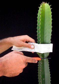 como fazer mudas de cactus e suculentas