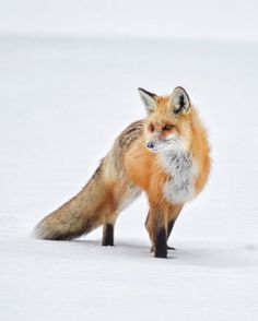 Snow-covered Snout, Red Fox - photo by Tin Man Lee Fox Spirit, Spirit Animal, Rare Animals, Funny Animals, Adorable Animals, Most Beautiful Animals, Fox Art, Cute Animal Pictures, Red Fox