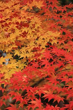 Autumn leaves in Japan.