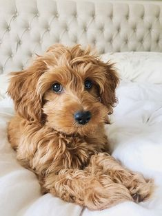 Guest Article: What To Tell Your Groomer To Get That Perfect Doodle Haircut — Leader of the Pax Goldendoodle Haircuts, Goldendoodle Grooming, Mini Goldendoodle Puppies, Dog Haircuts, Puppy Grooming, Goldendoodles, Labradoodles, Grooming Shop, Animals