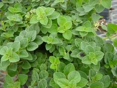 Oregano 'Hot & Spicy' - Harvest longish stems close to the base.  Rinse well.  To harvest: bunch stems together and hang For fresh use, snip leaves or small sections of the plant after it has reached six inches in height. Keeping oregano clipped in this way will help the plant to bush out and encourage more foliage growth.