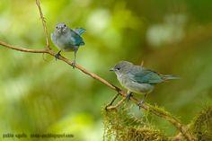 mis fotos de aves: Celestino común [Thraupis sayaca] Sayaca tanager