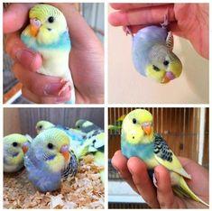 Cute little parakeets                                                                                                                                                                                 More