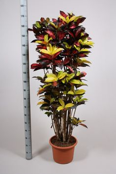 Кодиеум миссис Iceton | Loutos & Ясмин цветы