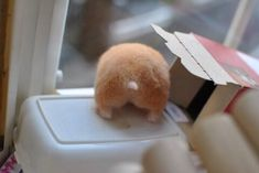The collection of hamster butts continues! Hamsters As Pets, Funny Hamsters, Rodents, Hamster Pics, Hamster Care, Super Cute Animals, Cute Little Animals, Cute Photos, Cute Pictures