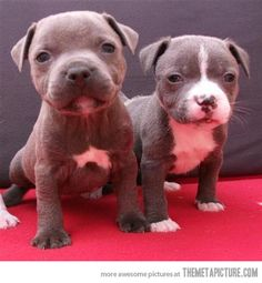 American Staffordshire Terrier Puppies ...........click here to find out more http://googydog.com