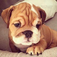 BaggyBulldogs – All about English Bulldogs