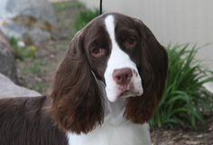 Cheerful and affectionate, Springers love their families and like to stick close to their owners. They make excellent house pets, but require daily exercise and need regular brushing and trimming to keep their coats neat and free of mats.