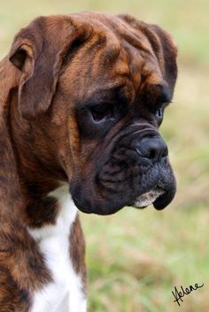 Boxer And Baby, Boxer Love, Cute Puppies, Dogs And Puppies, Boxer Dog Puppy, Brindle Boxer Puppies, Pet Dogs, Dog Cat, Doggies