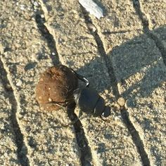 Dung beetle in #texas #insects #ThingsYouDontSeeInIndiana #homesteadhippy