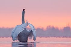 Photograph We've got to Pray, just to Make it Today (mute swan) by Roeselien Raimond on 500px