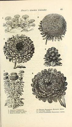 "https://flic.kr/p/rtq62y | n48_w1150 | Dreer's garden calendar :. Philadelphia, Pa. :Henry A. Dreer,1876.. <a href=""http://biodiversitylibrary.org/page/43806252"" rel=""nofollow"">biodiversitylibrary.org/page/43806252</a>"
