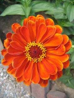 Zinnia -- Round orange perfection. You can't have enough of these.