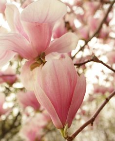 Beautiful pink Magnolia.