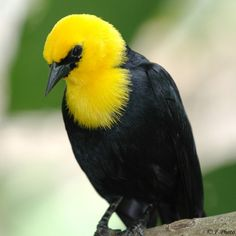 Yellow-hooded Black-bird