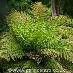 Dicksonia antartica (juvenile plants) - Tree fern for sale - The Palm Centre Exotic Plants, Cactus Plants, Garden Plants, House Plants, Ferns For Sale, Dicksonia Antarctica, Tree Fern, Vascular Plant, Free Plants