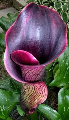 ✯ The dramatic Black Forest Calla Lily