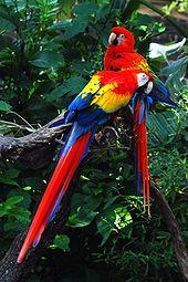 Araracanga, ave natural da América tropical.