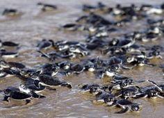 les jeunes tortues vertes relâchées par les bénévoles