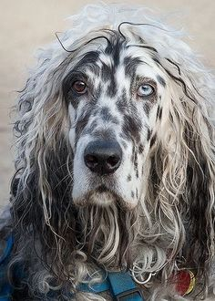 Heterochromia of the eye ~ unusually for an English setter (blue belton) Big Dogs, I Love Dogs, Dogs And Puppies, Cute Dogs, Doggies, Beautiful Dogs, Animals Beautiful, Pet Mart, Animals And Pets