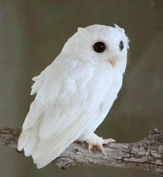White queen Albino screech owl. How beautiful!