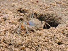 Crab on the beach of Digha - Photographed by Subrata Basu Crabs On The Beach, Make My Trip, Incredible India, Counseling, Giveaways, Cool Photos, Nature Photography, Photographs, Apps