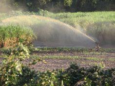 Pivô irrigando Cana - de - açúcar