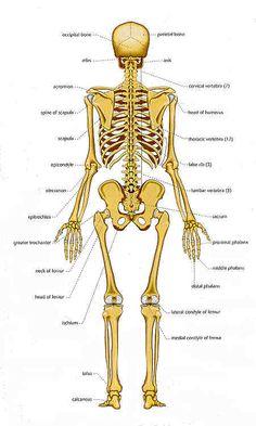 human skeleton printables | science | pinterest | human skeleton, Skeleton