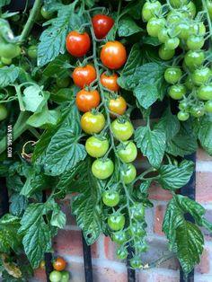 Living tomato ripeness chart.