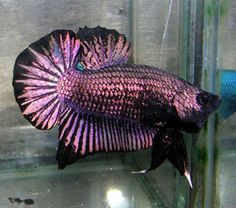 black copper purple plakat betta siamese fighting fish