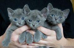 Beautiful Korat kittens for adoption - Cats, Kittens - Pets & Animals . Cute Cats And Kittens, Kittens Cutest, Bengal Kittens, Quiet Cat, Korat Cat, Hypoallergenic Cats, Baby Animals, Cute Animals, Rare Cats