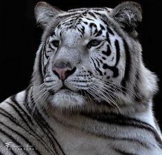 White Tiger by Peyman Az